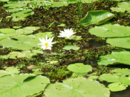 White water lillies in the backwaters of Kerala