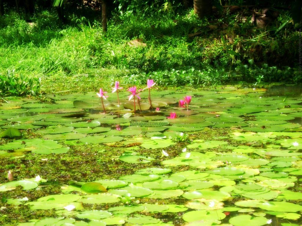 lotus bloom in the backwaters of Kerala